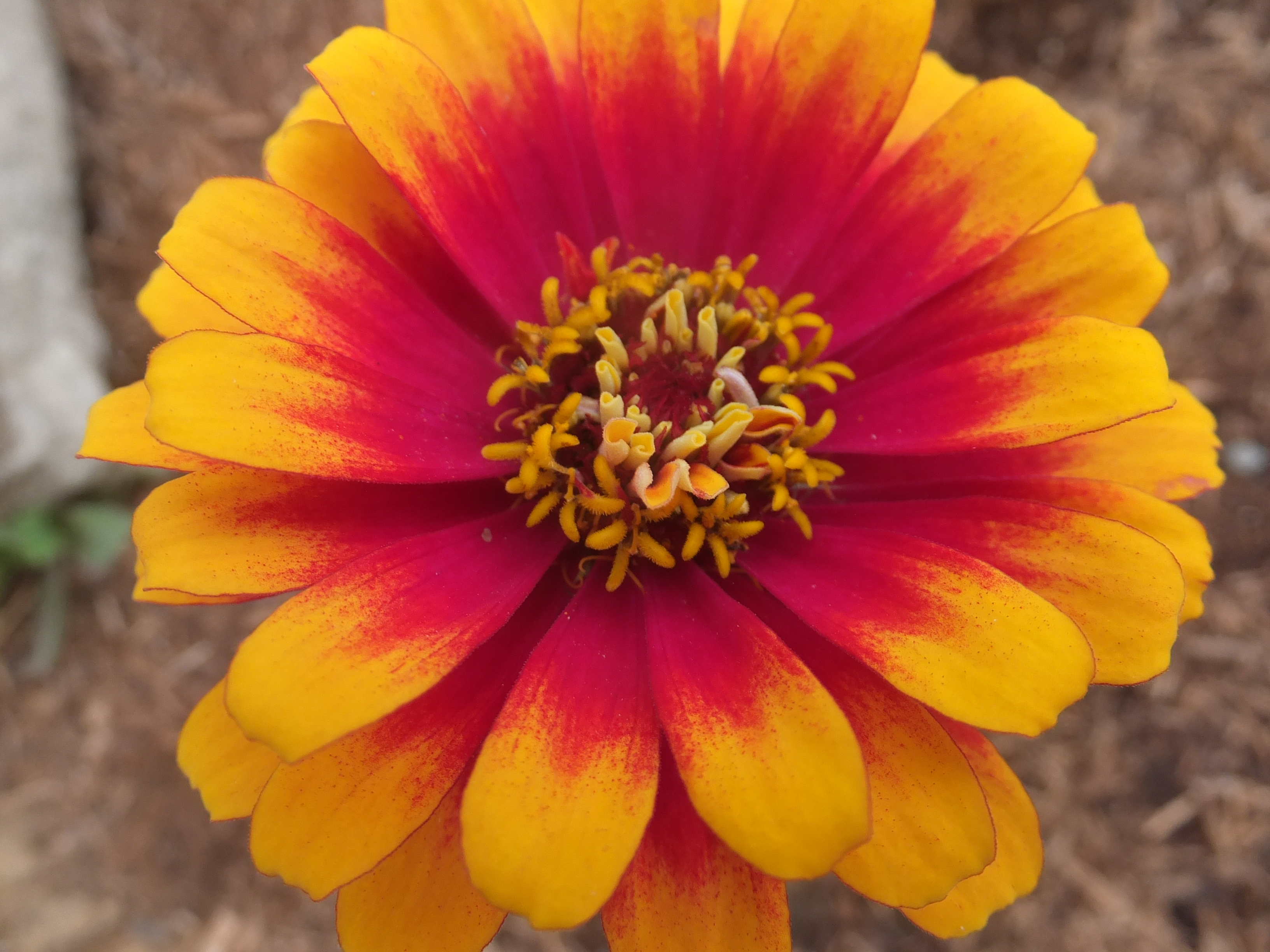 close up of bright orange zinnia flower
