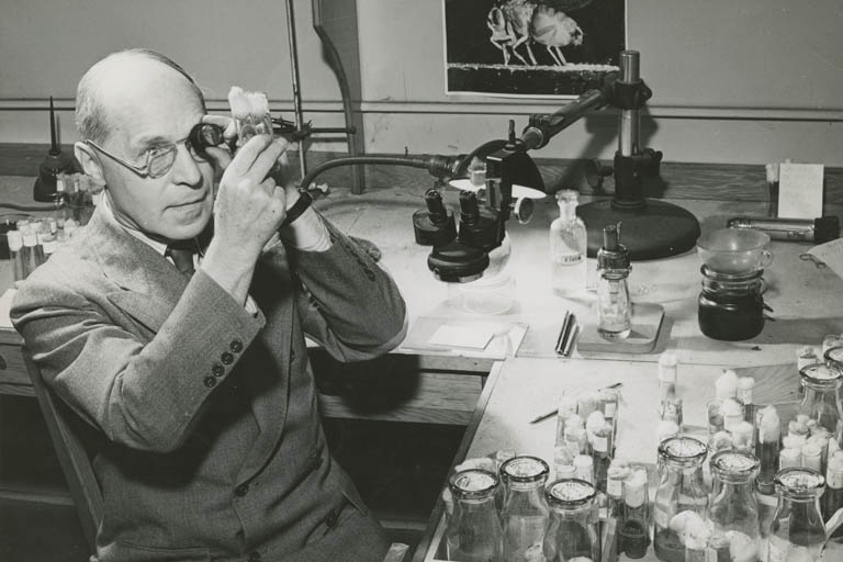 Hermann J. Muller in his laboratory, examining a specimen through a magnifying lens.