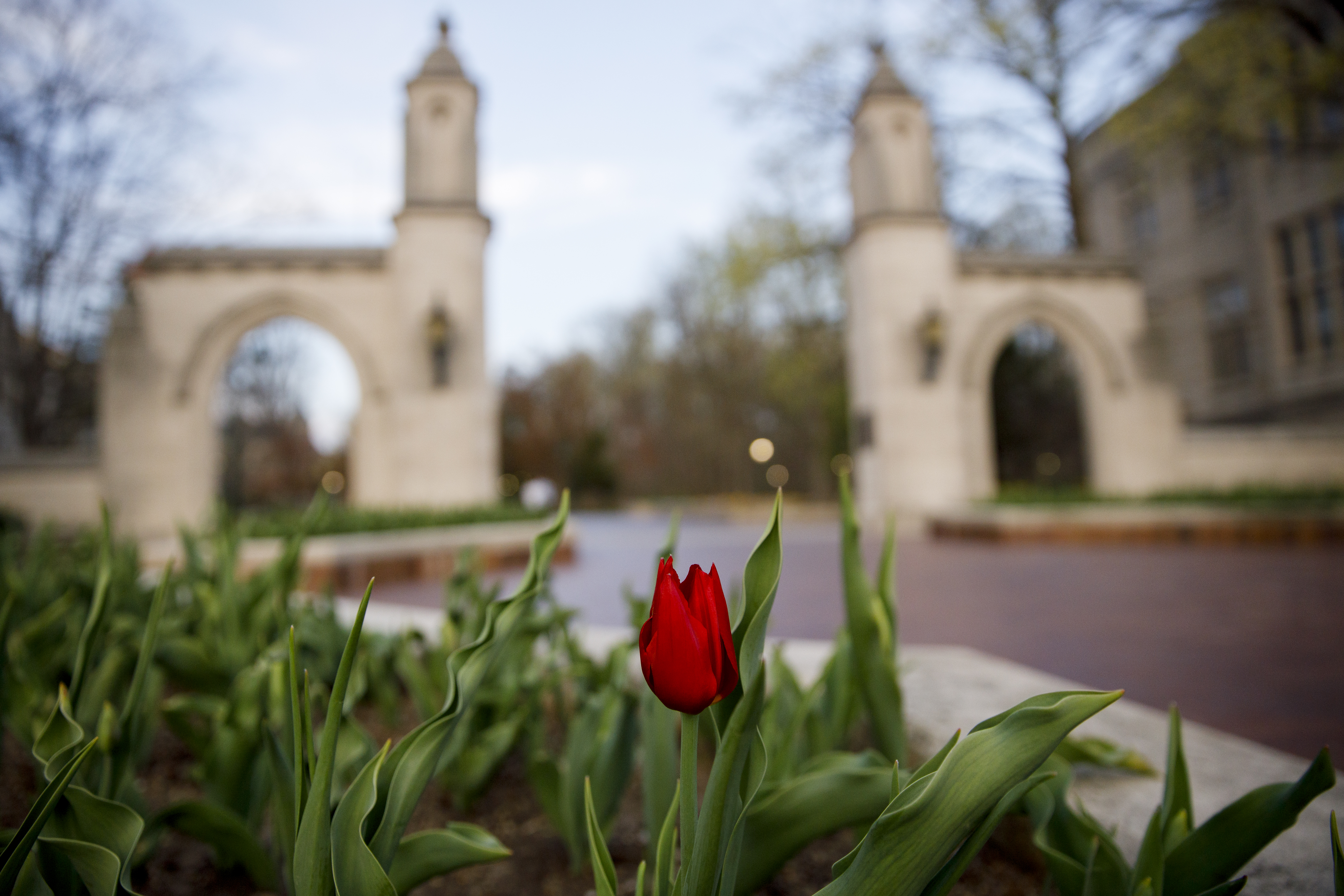 A red tulip in the foreground is in focus, while in the background is IU's sample gates