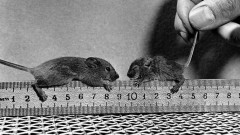 Two mice on a ruler.